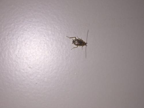 ectobius vinzi est ce une blatte ou un cafard le monde des insectes. Black Bedroom Furniture Sets. Home Design Ideas