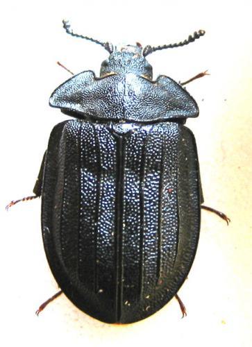 [Peltis grossa]Je vous laisse chercher... Coleoptera
