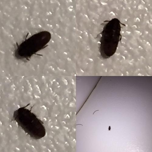 Throscidae petit insecte noir le monde des insectes for Insecte salle de bain