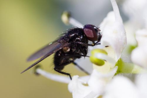 hydrotaea diabolus petite mouche noire le monde des insectes. Black Bedroom Furniture Sets. Home Design Ideas