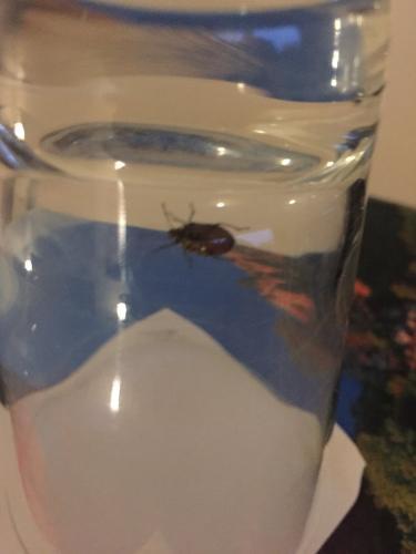 pentatomidae est ce une punaise de lit le monde des insectes. Black Bedroom Furniture Sets. Home Design Ideas