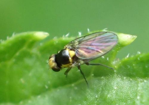 liriomyza sp toute petite mouche jaune noire le monde des insectes. Black Bedroom Furniture Sets. Home Design Ideas