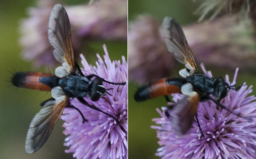 www.galerie-insecte.org/galerie/image/dos199/temp/16b.jpg