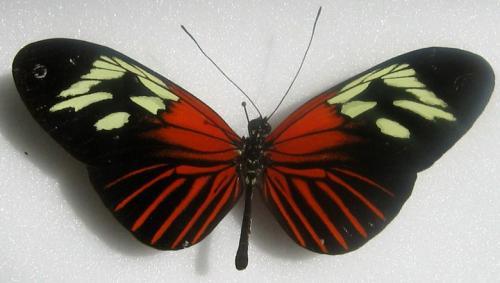 Quelques beaux papillons de Guyane Heliconius_sp__2