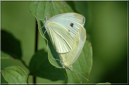 R�f. 2772 : Pieris rapae