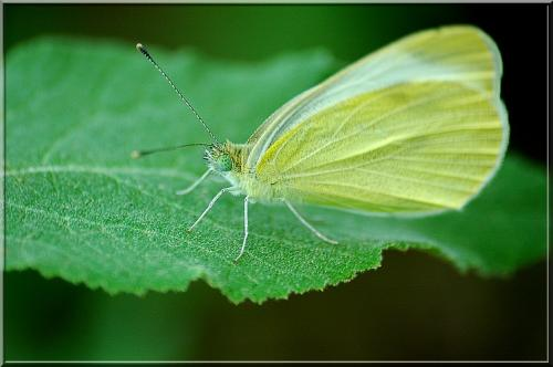 R�f. 2773 : Pieris rapae