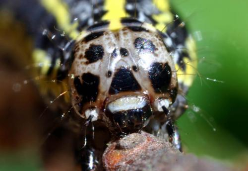 Orthosia miniosa chenille grise et jaune le monde des for Chenille grise