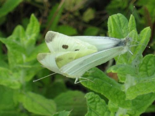 R�f. 20360 : Pieris rapae