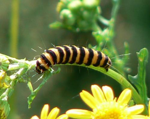 Tyria jacobaeae thyria jacobaeae belle chenille vorace le monde des insectes - Chenille verte et noire ...