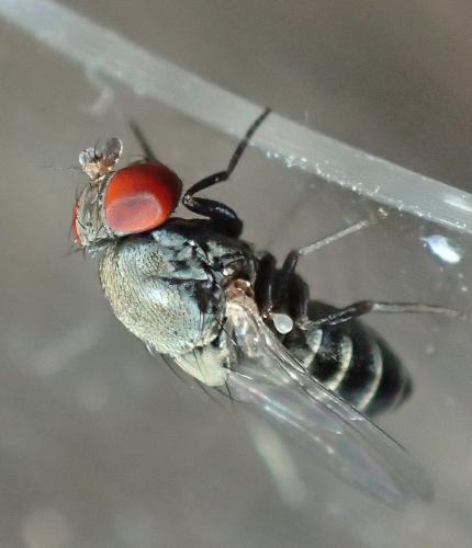 cacoxenus indagator mouche de l 39 osmie cornue le monde des insectes. Black Bedroom Furniture Sets. Home Design Ideas
