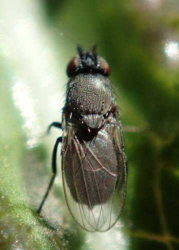 desmometopa sp petite mouche noire le monde des insectes. Black Bedroom Furniture Sets. Home Design Ideas