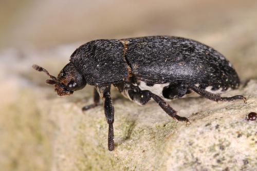 dermestes dermestinus laniarius dermestes noir ventre blanc le monde des insectes. Black Bedroom Furniture Sets. Home Design Ideas