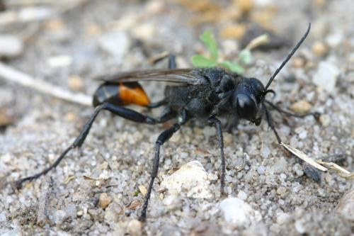 Bộ sưu tập côn trùng 2 - Page 4 Sphecidae1