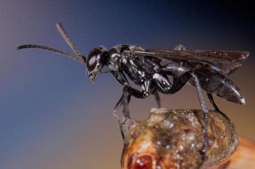 un m le pompile le monde des insectes. Black Bedroom Furniture Sets. Home Design Ideas