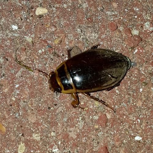 Dytiscus Sp Gros Insecte Volant Marron Le Monde Des Insectes