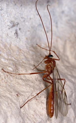 ophion obscuratus f ophion pas clair le monde des insectes. Black Bedroom Furniture Sets. Home Design Ideas