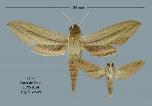 Quelques lépidos du Bénin  Hippotion_balsaminae