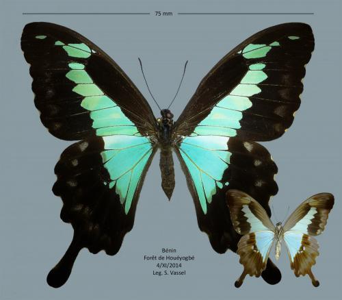 Quelques lépidos du Bénin  Papilio_phorcas_petit