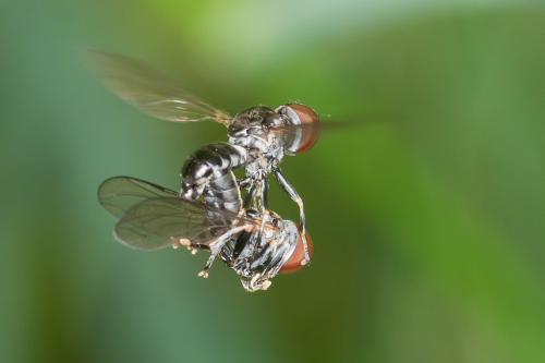 www.galerie-insecte.org/galerie/image/dos219/big/dip2.jpg