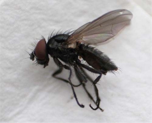 https://www.galerie-insecte.org/galerie/image/dos219/big/fannia%20body%20profil.jpg
