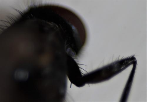 https://www.galerie-insecte.org/galerie/image/dos219/big/fannia%20coxa%20I.jpg