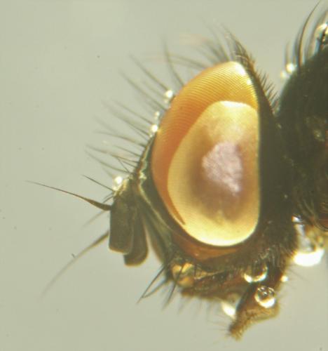 https://www.galerie-insecte.org/galerie/image/dos219/big/fannia%20head%20side.jpg