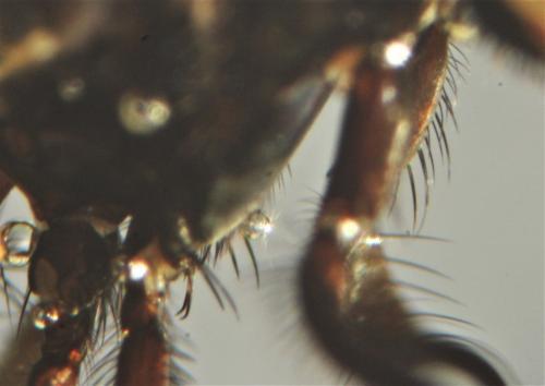 https://www.galerie-insecte.org/galerie/image/dos219/big/fannia%20sternopleura.jpg