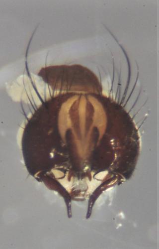 https://www.galerie-insecte.org/galerie/image/dos219/big/fannia%20terminalia%20dorsal.jpg