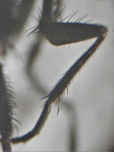 https://www.galerie-insecte.org/galerie/image/dos219/big/fannia%20tibia%20I%202.jpg