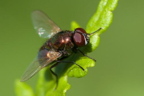 www.galerie-insecte.org/galerie/image/dos220/big/dip2a.jpg