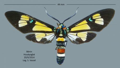 Quelques lépidos du Bénin  Arctiidae_benin_3