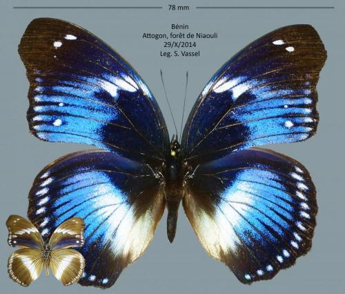 Quelques lépidos du Bénin  Papillonidae_benin