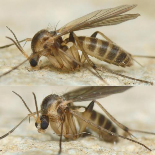 www.galerie-insecte.org/galerie/image/dos222/big/NB38785-94M1.c180-150r475.1%20-%20Coelosia%20..%20Mycetophilidae%20-%20Dipteres%20-%20Insectes%20-%20imago%20..%20I01j%20D92j%20La%2031%20mm%20Lc%2033%20mm%20-%20ENR.2019.01%20jardin.jpg