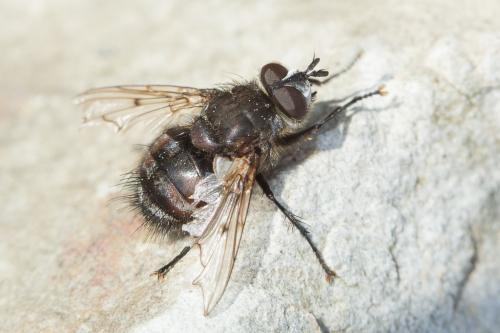 www.galerie-insecte.org/galerie/image/dos230/big/Tachi.jpg