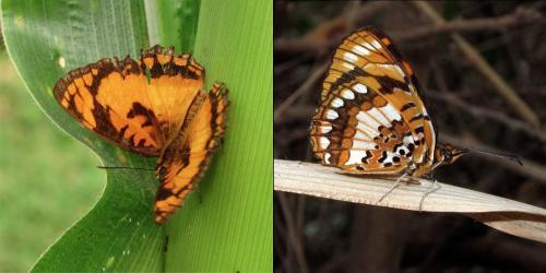 Bộ sưu tập cánh vẩy 4 - Page 9 Papillon%208