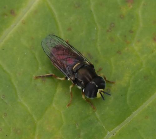 www.galerie-insecte.org/galerie/image/dos239/big/Paragus%20bicolor%201.JPG