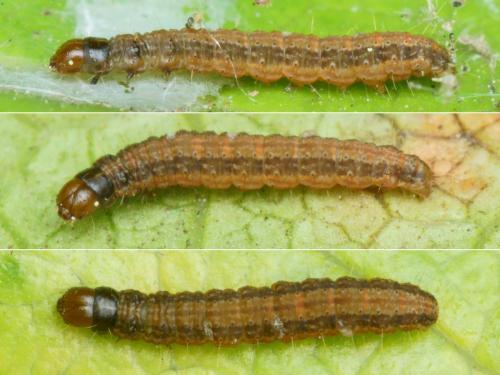 paraziták jumeaux a kínai tinea-ban)