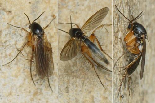 www.galerie-insecte.org/galerie/image/dos243/big/NB43287-96-99M1.b200-150r48.3%20-%20Epicypta%20sp.%20Mycetophilidae%20-%20imago%20B%20..%20I1h%20Lc%2038%20mm%20La%20315%20mm%20-%20ER.952-B.jpg