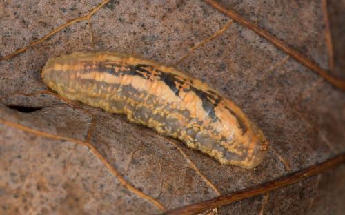 www.galerie-insecte.org/galerie/image/dos243/big/larve5.jpg