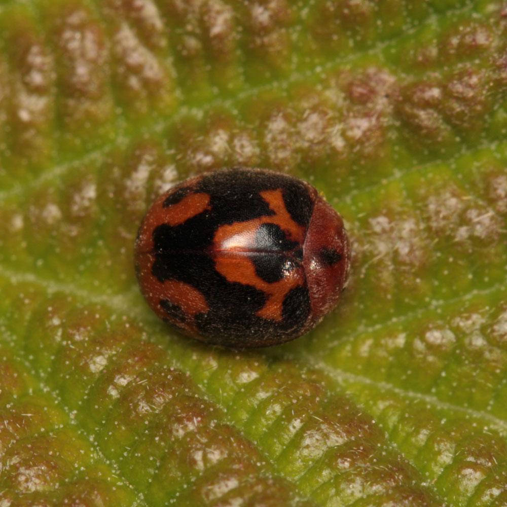 Exochomus (Parexochomus) nigromaculatus - Raynald Moratin