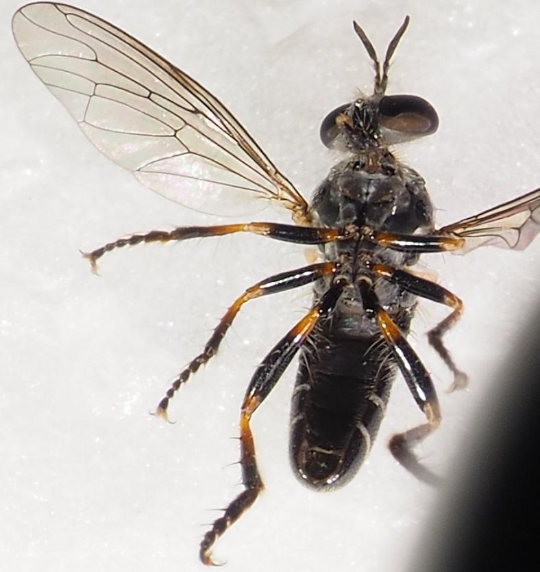www.galerie-insecte.org/galerie/image/dos245/temp/Asilide%20janvier%206%20m%204.JPG