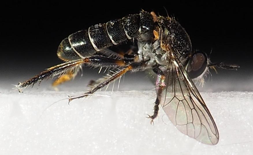 www.galerie-insecte.org/galerie/image/dos245/temp/Asilide%20janvier%206%20mm%203.JPG