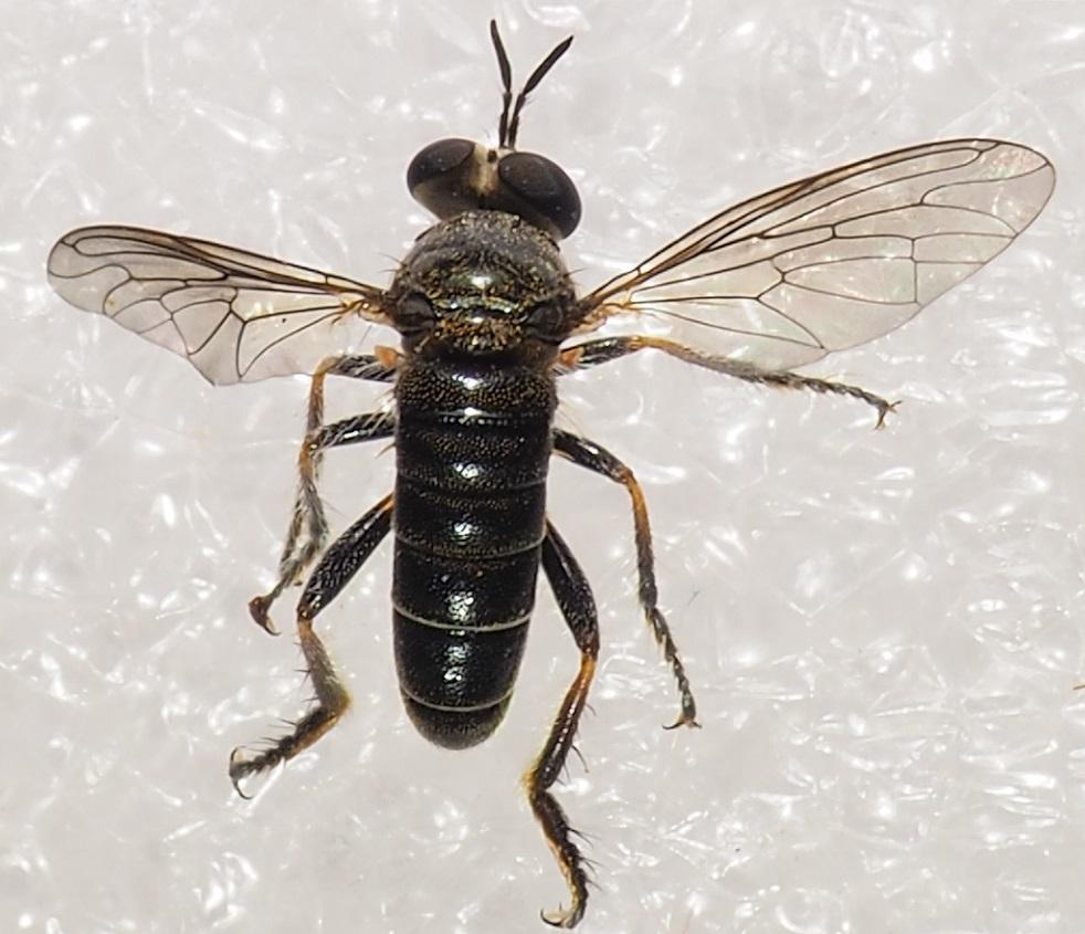 www.galerie-insecte.org/galerie/image/dos245/temp/P1010008%206%20mm.JPG