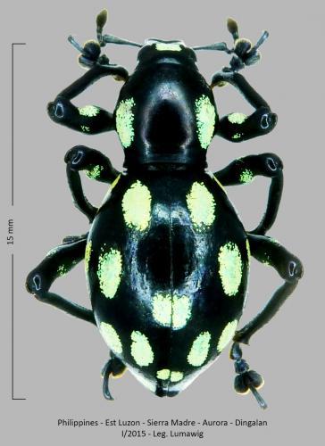 Les Pachyrhynchus Pachyrhynchus(11)