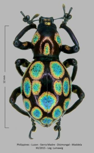 Les Pachyrhynchus Pachyrhynchus(2)