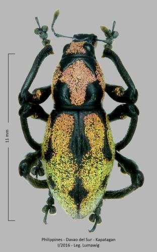 Les Pachyrhynchus Pachyrhynchus(5)