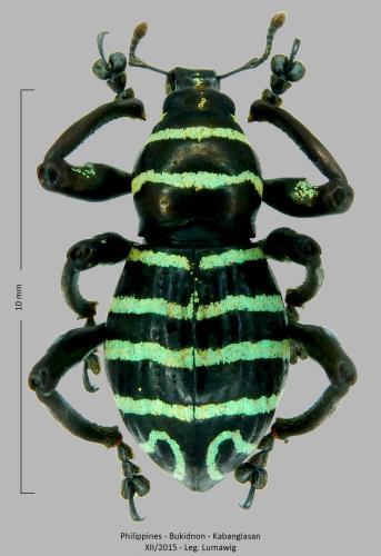 Les Pachyrhynchus Pachyrhynchus(7)
