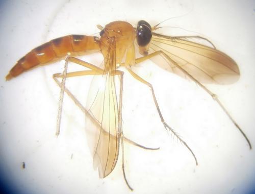 www.galerie-insecte.org/galerie/image/dos251/big/Cf.%20Gigantosciapus-%20Dolichopodidae%203--.jpg