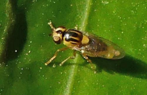www.galerie-insecte.org/galerie/image/dos251/big/Chloropidae2020%20Q.jpg