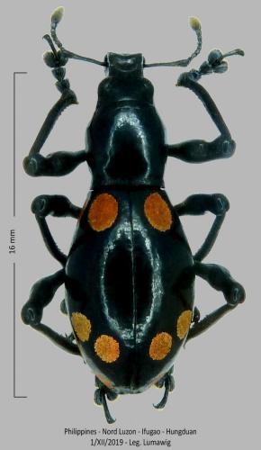 Les Pachyrhynchus Pachyrhynchus(1)
